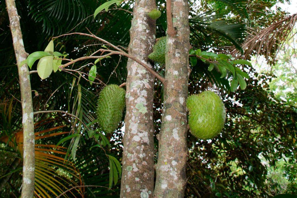 Graviopla Guanabana